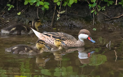 White-cheeked Pintail and mallard ducklings! (Kevin James54) Tags: anasbahamensis kevingiannini lambertville nikond850 tamron150600mm whitecheekedpintail animals avian bird kevingianniniphotocom