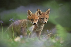 Fox Cubs (Nigel Hodson) Tags: canon 14x fox foxcub wildlife wildlifephotography nature naturephotography bluebells