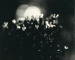 Lavender sunrise (Rosenthal Photography) Tags: 8x10 vocecamera8x10tc 1sek petzval360mm4 nasplatte blumetopf ilfordrapidfixer lavendel stilleben leasportrait3 kupfereisenentwickler epsonv800 f4 garten 143 anderlingen städte grosformat aluminotypie tintypie kollodium analog 20190401 dörfer siedlungen lavender sunrise sun sunshine spring april stilllife garden voce tc vtc petzval 360mm 1sec collodion tintype aluminotype ilfod rapid fixer epson v800