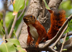Andean squirrel (Sciurus pucheranii) (danniepolley) Tags: andean squirrel sciurus pucheranii