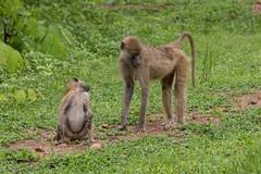 Медвежий павиан, Papio ursinus, Chacma Baboon (Oleg Nomad) Tags: медвежийпавиан papioursinus chacmababoon африка замбия луангва сафари животные africa zambia safari luangwa animals travel
