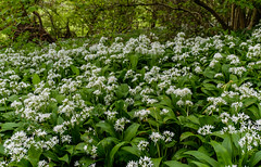 Near Helmsley, North Yorkshire (alh1) Tags: wildgarlic england northyorkshire ransoms helmsley