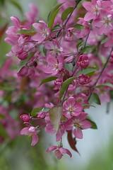 Pink and green (Kaska Ppp) Tags: różowy pink kwiaty flowers wiosna kwitnienie bloom