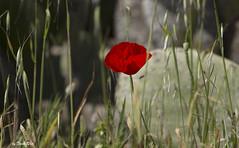 SHF_9873_flower (Tuan Râu) Tags: 1dmarkiii 14mm 100mm 135mm 1d 1dx 2470mm 2019 50mm 70200mm canon canoneos1dmarkiii canoneos1dx flowers flora beautiful beauty color red blue santorini greece tuanrau tuan râu httpswwwfacebookcomrautuan71