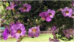 Hanging Basket of Flowers | Marietta, Georgia (steveartist) Tags: flowers bokeh hangingplants leaves iphonese snapseed photostevefrenkel