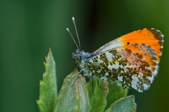 Orange-tip at Yeadon Tarn (Mark Hickton) Tags: yeadontarn butterfly orangetip macro macrorings