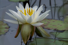 Fragrant Water Lily (stephaniepluscht) Tags: alabama 2019 bon secour national wildlife refuge fragrant water lily