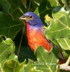 Peek a boo bunting (Lindell Dillon) Tags: paintedbunting neotropical birds birding nature oklahoma crosstimbers