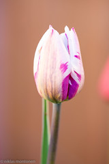 In the Garden and around (aixcracker) Tags: tulip tulpan tulppaani flower blomma kukka green grön vihreä red röd punainen yellow gul keltainen nikond800 nikonaf200mmf4micro macro makro närbild lähikuva may maj toukokuu spring vår kevät borgå porvoo finland suomi europe europa eurooppa