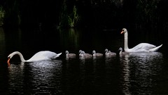 Swan family (johnlauper) Tags: swan muteswan cygnet hampdenpark bird waterbird reflections water lake nature wildlife
