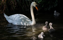 Looking after the youngsters (johnlauper) Tags: swan muteswan cygnet hampdenpark bird waterbird reflections water lake nature wildlife