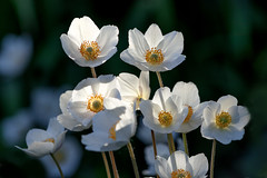 springs anemones (bożenabożena) Tags: flowers springflowers anemones white garden canonphotography rośliny kwiaty zawilce wiosenne ogród