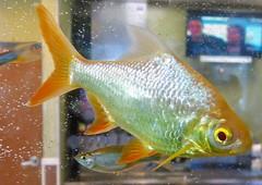 Aquarium Fish III  --   20190516191959~2 (mshnaya ☺) Tags: aquarium gold fish orange feed swim flickr photo candid point shoot leica leicac compact camera color