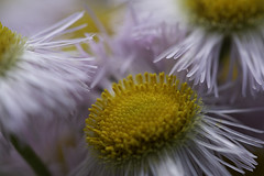 Daisy Fleabanes (bamp88) Tags: daisyfleabane daisy wildflowers wildflower flower blossom bloom yellow pink purple white canoneos70d macro closeup dof ef100mmf28lmacroisusm erigeronannuus erigeron asteraceae asterales manypetals greensburg pa westernpa pensylvania nature outdoor
