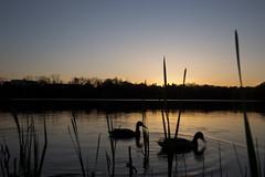 Two ducks on the pond (CJ Burnell) Tags: duck grenadier pond highpark toronto torontoclicks torontophoto torontoguardian torontophotographer sunset water birds silhouette