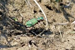 Green Tiger Beetle (Cicindela campestris), near Tbilisi, Georgia (Gil Ewing) Tags: insect green coleoptera beetle cicindelinae carabidae