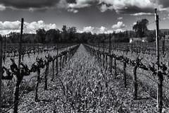 Vineyard (ROSS HONG KONG) Tags: vine vineyard wine napa california winecountry cloudsblack white blackandwhite bw noir blanc monochrom monochrome leica 50mm f095