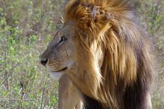 IMGP2142-2 (b kwankin) Tags: africa lion serengeti tanzania