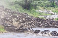 IMGP1607-2 (b kwankin) Tags: africa maramto serengeti tanzania wildebeestwesternwhitebearded