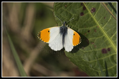 IMG_0083 Orange-tip Butterfly (Scotchjohnnie) Tags: orangetipbutterfly orangetip butterfly insect wildandfree nature naturephotography canon canoneos canon7dmkii canonef100400f4556lisiiusm scotchjohnnie