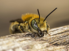 Blue Mason Bee 1 (m) (A Closer Focus) Tags: male blue mason bee green eyes solitary wood resting