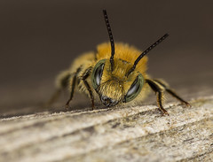 Blue Mason Bee 2 (m) (A Closer Focus) Tags: male blue mason bee green eyes solitary wood resting