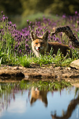 Red fox (Mary Bassani) Tags: redfox fox zorro volpe lavanda lavander reflection spring primavera wildlifephotographer wildlife wild canonphotographer canonwildlifephotographer spain animalplanet animallovers mammal mammiferi lookatme