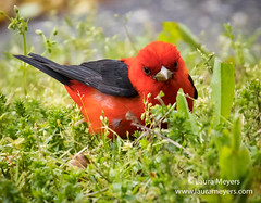 Scarlet Tanager in Grass (Laura-Meyers) Tags: greenwoodcemetery scarlettanager