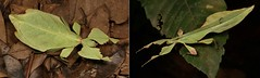 """""""LADIES and GENTLEMEN, BOYS and GIRLS!"""" - Leaf Insects (Phyllium cf. yunnanense (celebicum group), Phylliidae, Phasmatodea) (John Horstman (itchydogimages, SINOBUG)) Tags: insect macro china yunnan itchydogimages sinobug entomology collage mosaic boysandgirls phasmid phyllium yunnanense phylliumyunnanense phasmatodea phylliidae leaf tweet"""