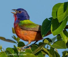 Singing bunting (Lindell Dillon) Tags: paintedbunting birds birding nature oklahoma crosstimbers wildoklahoma