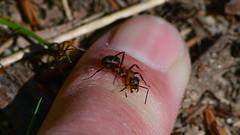 Rød Skovmyre (Kenneth Gerlach) Tags: ants finger flowersplants formicarufa landscape macro myre redwoodant rotewaldameise rødskovmyre spring wildlife haslev regionzealand denmark