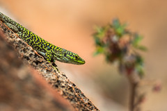 Podarcis siculus (jeff_006) Tags: wildlife wild nature portrait closeup lizard reptile italy sicily spring sanvito locapo rock cliff climbing sun afternoon telephoto color green orange plant bokeh olympus omd em1mkii em1 40150 40150f28 u43 micro43 μ43 m43 holidays