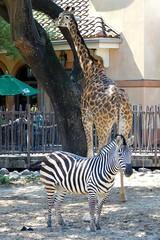 Houston Zoo (Tiger_Jack) Tags: zoos zoo zoosofnorthamerica itsazoooutthere animals animal zebra zebras giraffes giraffe elephantsrhinosgiraffeshippos houston houstonzoo