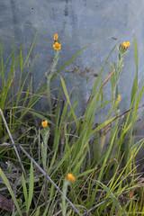 IMG_0325 (armadil) Tags: jepsonprairie fiddleneck ranchersfiddleneck vernalpool jepsonprairiepreserve