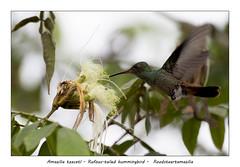 Rufous-tailed hummingbird #7 (Jan H. Boer, Nature photographer) Tags: amaziliatzacatl rufoustailedhummingbird roodstaartamazilia birds hummingbirds nature wildlife costarica loschiles wetlands nikon d500 afsnikkor200500f56eedvr jan´sphotostream2019