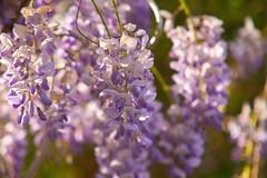 Wisteria Delight @SE15 (Adam Swaine) Tags: peckhamryepark naturelovers nature spring flora flowers wisteria england english londonparks uk purplegreen canon beautiful petals gardens britain british