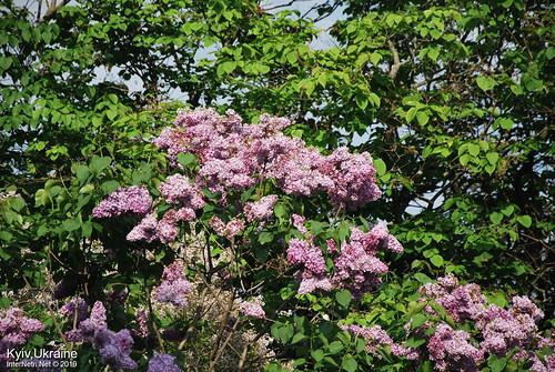 Київ, Ботанічний сад імені Гришка  Цвіте бузок InterNetri Ukraine 83