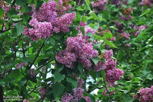 Київ, Ботанічний сад імені Гришка  Цвіте бузок InterNetri Ukraine 43
