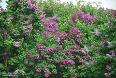 Київ, Ботанічний сад імені Гришка  Цвіте бузок InterNetri Ukraine 41