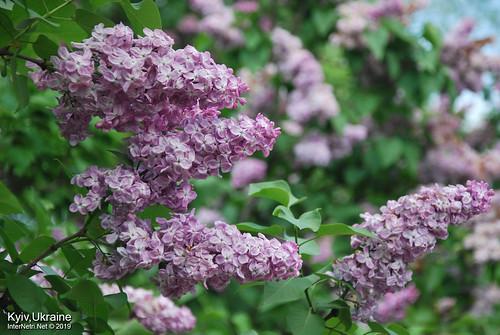 Київ, Ботанічний сад імені Гришка  Цвіте бузок InterNetri Ukraine 39