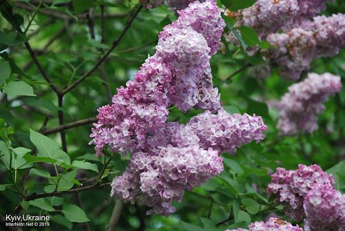 Київ, Ботанічний сад імені Гришка  Цвіте бузок InterNetri Ukraine 37
