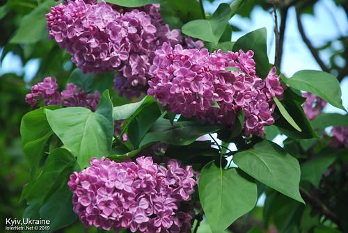 Київ, Ботанічний сад імені Гришка  Цвіте бузок InterNetri Ukraine 14