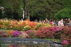 Київ, Ботанічний сад імені Гришка  Цвіте бузок InterNetri Ukraine 08