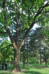 Київ, Ботанічний сад імені Гришка  Цвіте бузок InterNetri Ukraine 06