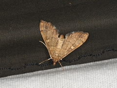 Nacoleia rhoeoalis (dhobern) Tags: 2019 april australia lamingtonnationalpark lepidoptera queensland crambidae spilomelinae nacoleiarhoeoalis