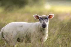 Spring lamb (- A N D R E W -) Tags: lamb sheep baby juvenile young spring nature primavera light sun wool grass bokeh