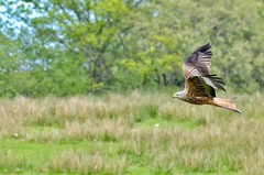 Fly past (Nige H (Thanks for 25m views)) Tags: nature landscape animal bird redkite birdofprey hawk grigin wales midwales flypast