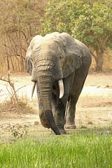 Savanna elephant, Mole National Park, Ghana (inyathi) Tags: africa westafrica ghana africananimals africanwildlife africanelephants elephants savannaelephants loxodontaafricana molenationalpark safari