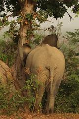 Savanna elephant, Mole Motel, Mole National Park, Ghana (inyathi) Tags: africa westafrica ghana africananimals africanwildlife africanelephants elephants savannaelephants loxodontaafricana molenationalpark molemotel safari