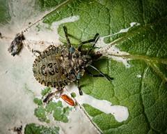 Pentatoma rufipes final instar nymph. Red-legged Shieldbug. (mickmassie) Tags: hanworth littlepark